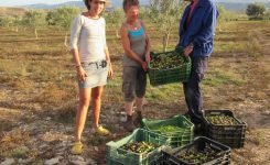 Olive and almond picking at Sunseed – the eco way