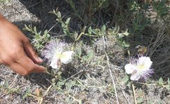 Capers: picking and preserving your own
