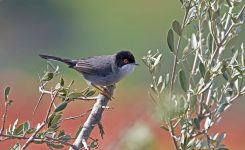 Colour Ringing Project for Sylvia Melanocephala (Sardinian Warbler)