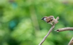 Colour Ringing Project for Passer domesticus (House Sparrow)